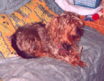 Chien  - Teckel Femelle (10 ans)