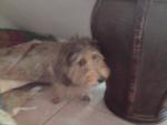 Chien djoy - Teckel Femelle (10 mois)