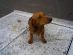 Chien duc - Teckel Mâle (2 ans)