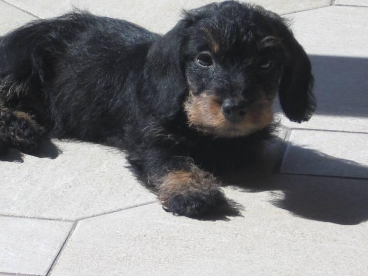 Chien Hommage à mon ancien chien : éclair - Teckel Mâle (3 mois)