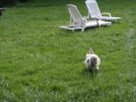 Chien chien chinois a houpette  Kiss - Epagneul japonais  (0 mois)