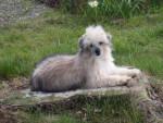 Chien chien chinois à houpette  Kiss - Epagneul japonais  (0 mois)