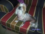 Chien chien chinoix nu - Epagneul japonais  (0 mois)