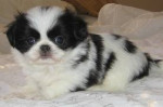 Chien Toshy - Epagneul japonais Femelle (10 mois)