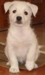 Chien blanca - Epagneul japonais Femelle (1 an)
