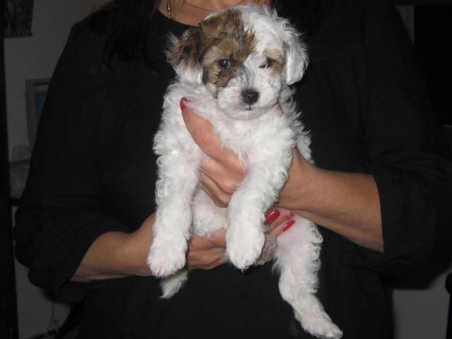 Chien chien chinois poil houpette poudré - Epagneul japonais  (0 mois)