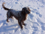Chien Épagneul picard ( Volcan) - Epagneul picard  (0 mois)