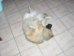 Chien    Alto eurasier - Eurasier Femelle (0 mois)