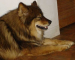 Chien Luna-Nueva-Shaggy-v-Eurasia - Eurasier  (0 mois)
