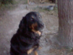 Chien lady - Hovawart Femelle (9 ans)