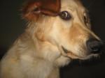 Chien Edelweiss de la torterie - Hovawart Femelle (3 ans)