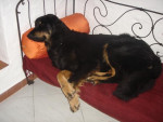 Chien Hovawart : Alto - Hovawart  (0 mois)