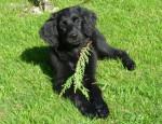 Chien Hovawart : Fontouse, femelle 4 mois - Hovawart  (4 mois)