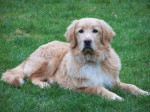 Chien Chien Hovawart de 7 mois - Hovawart  (7 mois)
