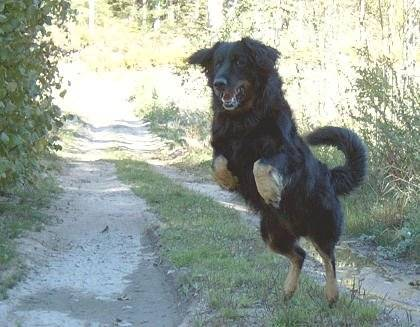 Photo hovawart hovawart - Race chien volt ...