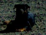 Chien Rott   KAISER - Kai  (0 mois)