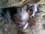 Chien Holly - Berger Australien Femelle (10 mois)