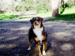 Chien Birdie - Berger Australien Femelle (3 ans)
