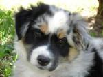 Chien BOOGIE (9 semaines) Berger Australien - Berger Australien Femelle (0 mois)