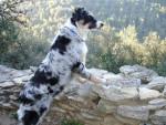 Chien Boogie (6 mois) femelle Berger Australien - Berger Australien Femelle (0 mois)