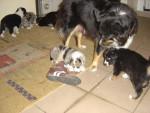 Chien farha et nelly(2 ans) - Berger Australien Femelle (2 mois)