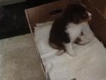Chien Skye - Berger Australien Femelle (2 mois)