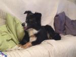 Chien ~ Farah - Berger Australien Femelle (4 ans)