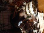Chien Skye - Berger Australien Femelle (11 mois)