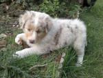 Chien Ginny - Berger Australien Femelle (1 mois)