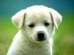 Chien sasha - Lakeland Terrier Femelle (7 mois)