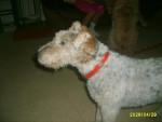 Chien joel - Lakeland Terrier Femelle (18 ans)