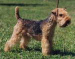 Chien Lakeland Terrier - Lakeland Terrier  ()