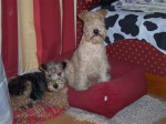 Chien Lakeland Terrier Victoire et Britney Des Tip Top Terriers - Lakeland Terrier  ()