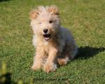Chien Lakeland Terrier  KENZO - Lakeland Terrier  ()