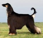 Chien Dog - Lévrier afghan  (0 mois)