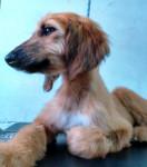 Chien paris mi mascota - Lévrier afghan Femelle (7 mois)