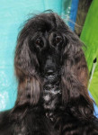 Chien Esthelle belle chienne Lévrier Afghan - Lévrier afghan  (0 mois)