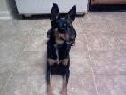 Chien Lady [bug] - Terrier de Manchester Femelle (3 ans)