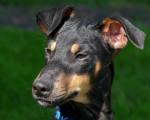 Chien  - Terrier de Manchester  (0 mois)