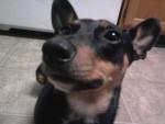 Chien the sweetest - Terrier de Manchester Femelle (0 mois)