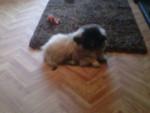 Chien Rosy - Pékinois Femelle (7 mois)