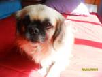 Chien dhalia - Pékinois Femelle (6 ans)