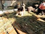 Chien Pekinesen Welpen - Pékinois Femelle (0 mois)