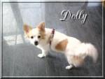 Chien Dolly - Croisé Spitz Moyen / Pekinois - Yorkshire  - Pékinois Femelle (0 mois)