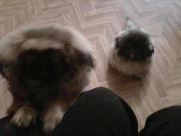 Chien Pebbles (left) Rosy (right) - Pékinois Femelle (6 mois)
