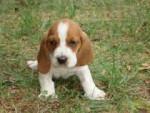 Chien molly - Basset Hound Femelle (3 ans)