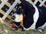 Chien Lucy a dog - Basset Hound Femelle (10 ans)