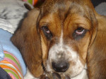 Chien basset hound - Basset Hound  (0 mois)