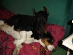 Chien dobrmann Sam et Basset hound Miss - Basset Hound Femelle (0 mois)