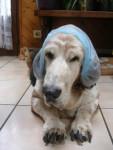 Chien jaîka basset hound - Basset Hound  (0 mois)